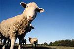баран овца отара фото