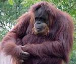 обезьян примат шимпанзе фото